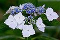 "Flower, Hydrangea ""Oome"" - Flickr - nekonomania.jpg"