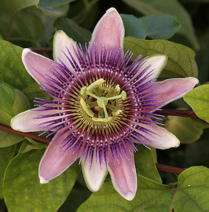 This is Passiflora × belotii. Photo taken in t...