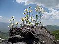 Flowers, Vayots Dzor 04.jpg