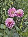 Flowers at Nymans Garden (NT) (7137891915).jpg
