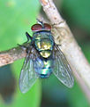 Fly - some common fly.jpg