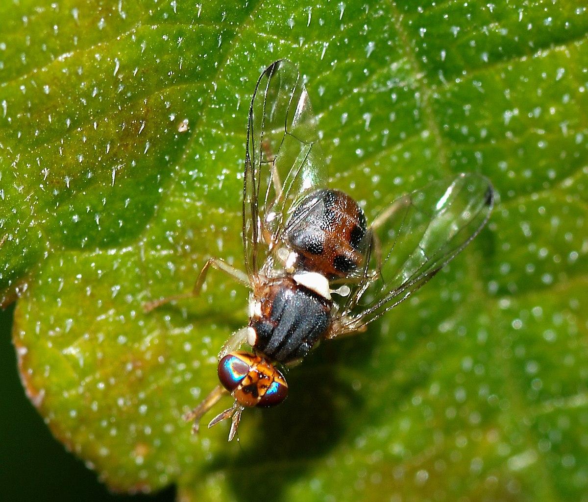 Bactrocera oleae wikipedia - Mosche verdi ...