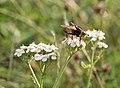Fly on flower in Djurgarden (52362).jpg