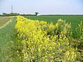 Footpath and Oilseed Rape South of East Tisted - geograph.org.uk - 408099.jpg