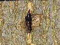 Forficula auricularia (36640960301).jpg