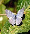 Forget-me-not Catochrysops strabo UP Male by Dr. Raju Kasambe DSCN0922 (10).jpg