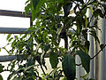 Fortunella margarita (DITSL).JPG