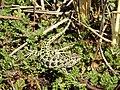 Foto Liolaemus magellanicus (5).jpg