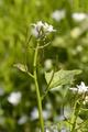 Freiensteinau Salz Bruchwiesen Salz NR 162590 det Alliaria petiolata b.png