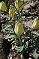 Fritillaria-pallidiflora-habit.JPG