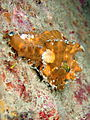 Frogfish, Pulau Perhentian, Malaysia (4011468252).jpg