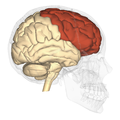 Frontal lobe - lateral view.png