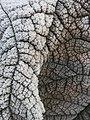 Frosty foliage (10986238093).jpg
