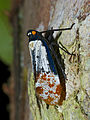 Fulgorid Hopper (Penthicodes farinosa) (15496483605).jpg