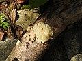 Fungi-90-bsi-yercaud-salem-India.jpg