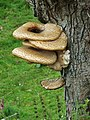Fungus on dead tree - geograph.org.uk - 491737.jpg