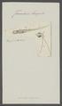 Furcularia longiseta - - Print - Iconographia Zoologica - Special Collections University of Amsterdam - UBAINV0274 101 04 0020.tif