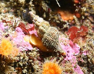 <i>Fusinus</i> genus of molluscs