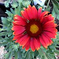 Gaillardia-arizona-red-shades-3699.jpg