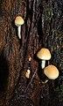 Galerina marginata (31845512164).jpg