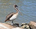 Galveston Bay Pelican (6208823905).jpg