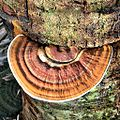 Ganoderma zonatum on Cabbage Palm (7323737678).jpg