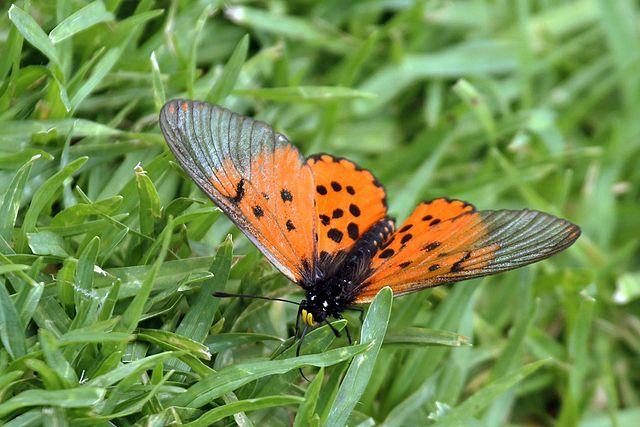 Bộ sưu tập cánh vẩy 4 - Page 43 640px-Garden_acraea_butterfly_%28Acraea_horta%29_male