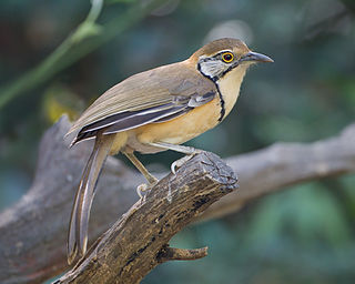 Greater necklaced laughingthrush species of bird