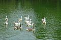 Geese - Kolkata 2011-05-03 2643.JPG