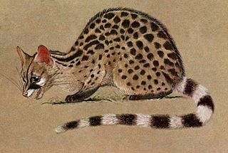 Crested servaline genet species of mammal