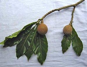 Genipa americana - Leaves and fruits of Genipa americana.