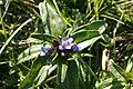 Gentiana cruciata, Chantegrue - img 22537.jpg