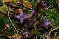 Gentianella germanica PID361.jpg