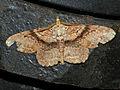 Geometrid Moth (Cleora repetita) (15890254361).jpg