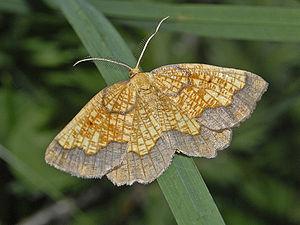 Epione (moth) - Epione vespertaria. Male