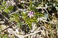 Geranium robertianum brasles 21042007 1.jpg