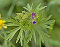 Geranium sp. - Adana.jpg