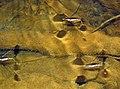 Gerridae (water striders) (Blunt Run, Muskingum Township, Muskingum County, Ohio, USA) 3 (22252055722).jpg