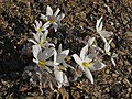 Gethyllis villosa (Amaryllidaceae) (6929293993).jpg