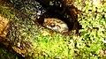 Giant tree frog. Platepelis grandis. - Flickr - gailhampshire.jpg