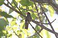 Gilded Hummingbird (Hylocharis chrysura) (15774018609).jpg