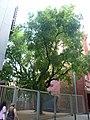 Ginjoler del carrer Arimon P1490007.jpg