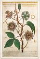 Giovanni Faber 1619 Passiflore vera effigie.png