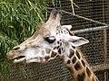 Giraffa camelopardalis - Giraffe - Girafe - Oasis Park - 07.jpg
