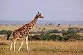 Giraffe (16301090250).jpg