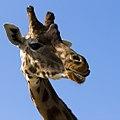 Giraffe (7428424890).jpg