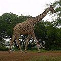 Giraffe (Giraffa camelopardalis reticulata).jpg