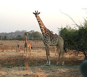 Thornicroft-Giraffenkuh mit Jungtier in der sambischen Savanne
