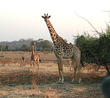 375px-Giraffen.jpg
