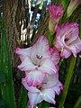 Gladiolus 1.jpg